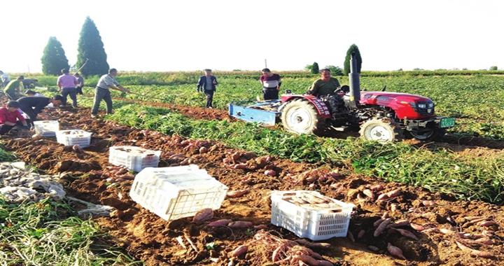 洪洞杨岳村:红薯喜丰收 村民采收忙