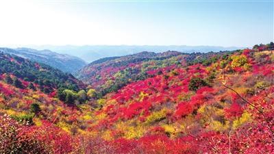 安泽:层林尽染秋叶红