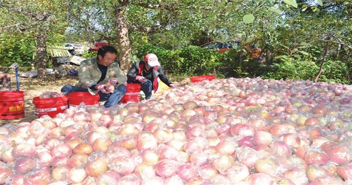 翼城:红彤彤的苹果 红火火的日子