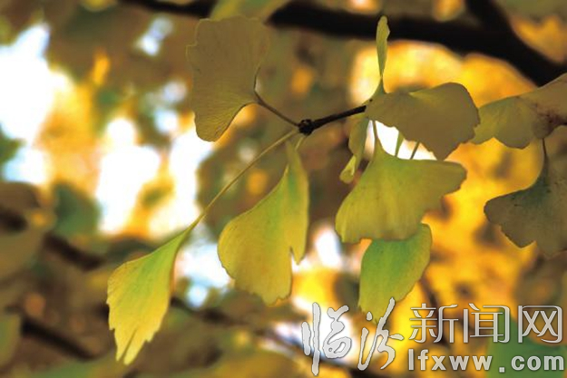 翼城:相遇银杏树