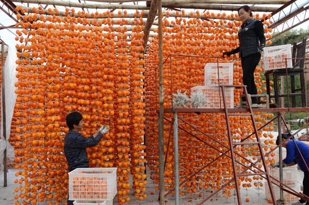 幸福农场;火红的柿子高高挂(6张)